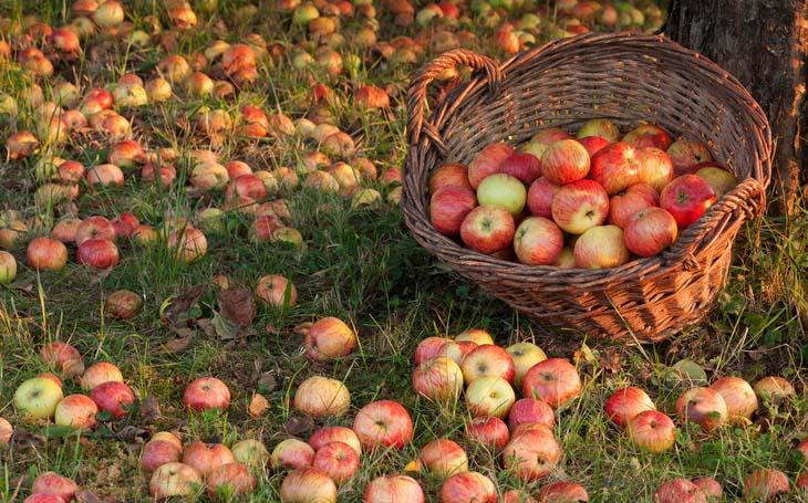 manzanas_arbol