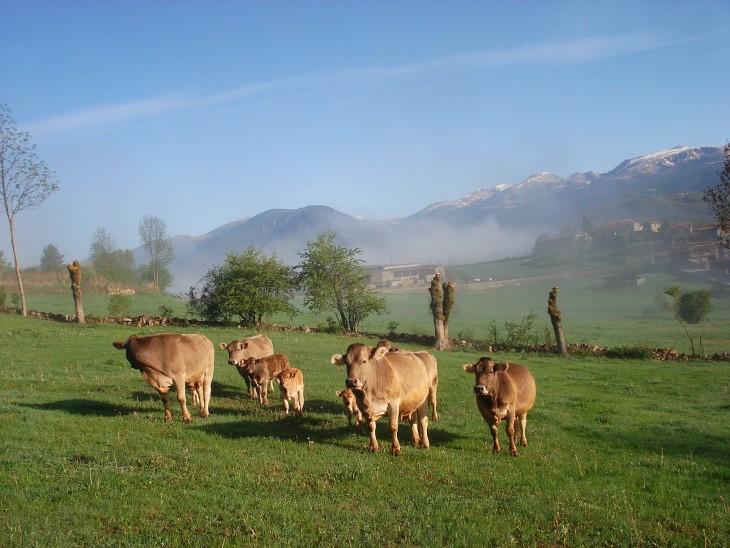 ternera ecológica pasturando