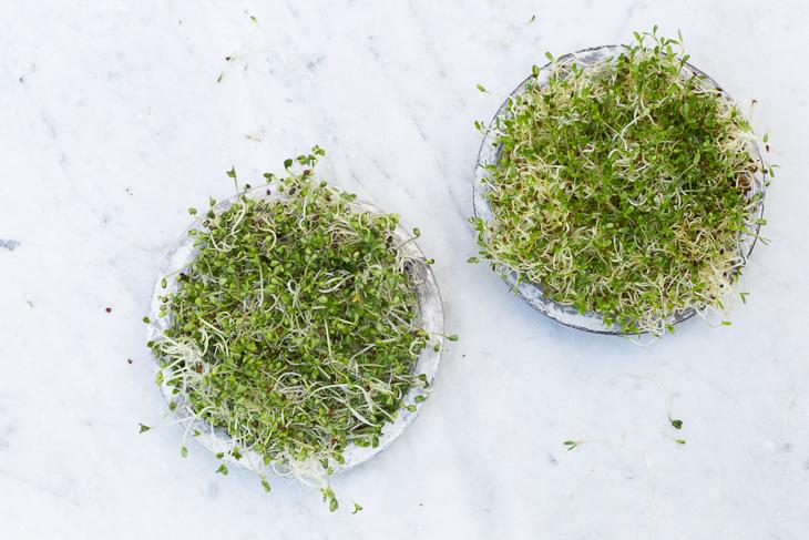 Brotes germinados de alfalfa