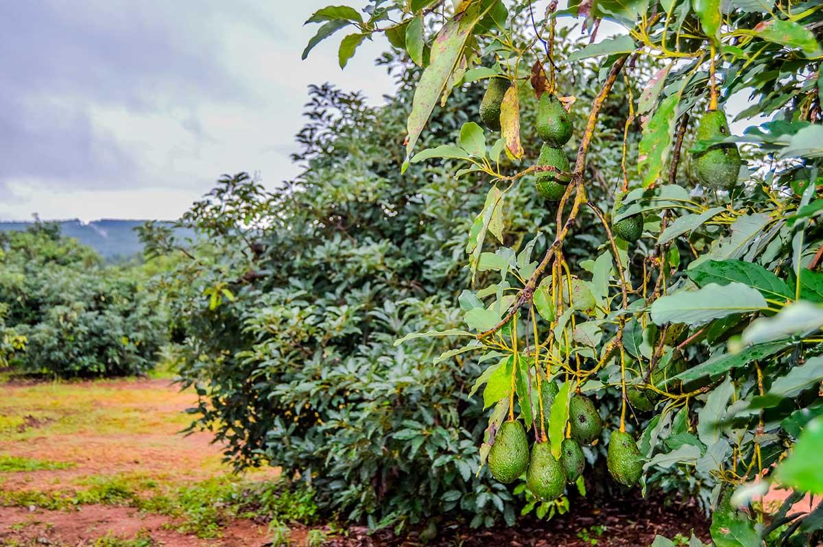 ¿Qué tienen en común el aguacate y el aceite de palma? ¿Son igual de problemáticos?
