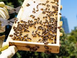 Jaume Clotet, apicultor y fundador de la empresa Mel·lis que promueve la implantación de abejas en ciudades.