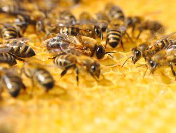 El mundo de las abejas: polinizadoras en crisis