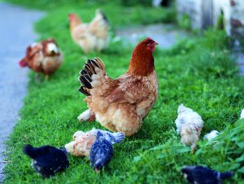 Carne de aves