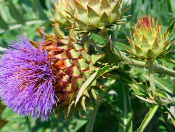 7 plantas que ayudan en las funciones hepáticas y digestivas