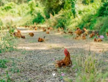5 razones para pasaros al pollo ecológico