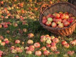 ¿Estás preparado para beneficiarte de los efectos antioxidantes de una manzana?