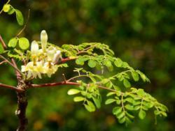Moringa, el árbol de la vida