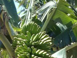 Plátano ecológico en Tenerife: recuperando la esencia de la tierra