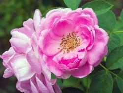 Esta primavera, nutre a fondo la piel con la rosa de Damasco