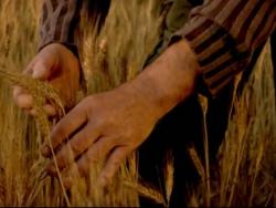 Tritordeum: un cereal sostenible para todos